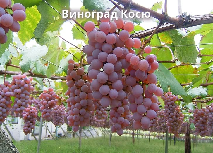 Виноград Косю