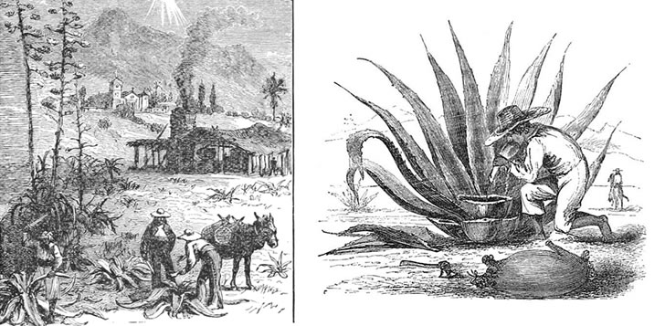 История текилы