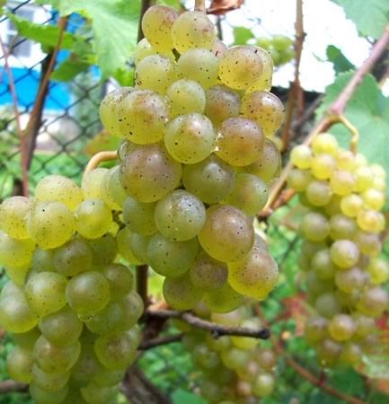 Сорт винограда Бианка