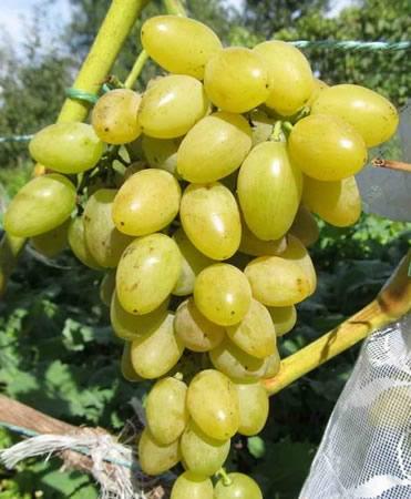 Сорт винограда Мускат Летний