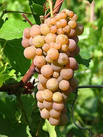 Сорт винограда Солярис