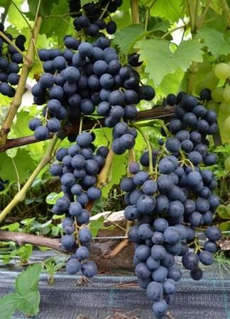 Сорт винограда Мускаты Блау