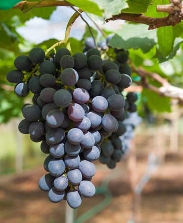 Сорт винограда Цимлянский черный