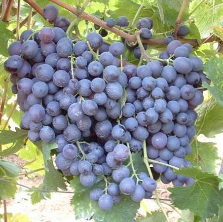 Сорт винограда Мускат гамбургский